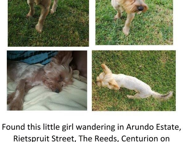 Yorkie-lost-28-march-2019